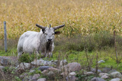 Mean Bull. A mean angry bull with large horns Stock Photos