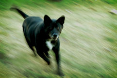 Mean Dog. Black dog running at you royalty free stock photos