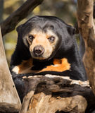 Mean Face Sun Bear Stock Photos