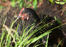 Mean Hen Royalty Free Stock Images