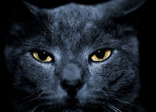 Mean looking cat. Beautiful portrait of a mean looking cat Royalty Free Stock Photo