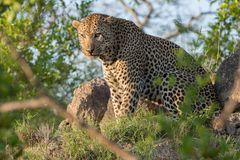 A mean-looking leopard looking at the camera. A horizontal, full length, colour photo of a large and angry-looking male leopard, Panthera pardus, sitting in stock photos