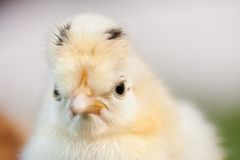 Mean looking little chicken Stock Images
