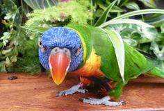 Mean looking Lorikeet Stock Photos