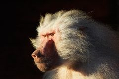 Mean looking monkey stock photo