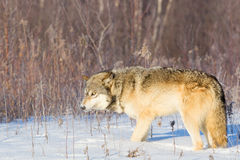 Mean looking timber wolf Royalty Free Stock Photography