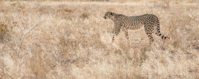 Meandering cheetah, Etosha National Park, Namibia Royalty Free Stock Images