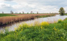 Meandering creek in a Dutch polder landscape. In the spring season. On one bank there is dried reed and on the other bank fresh green colored grass and yellow royalty free stock photography