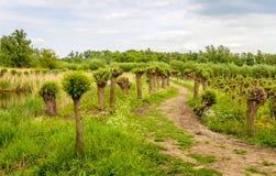 Meandering path between pollard willow trees. In the Dutch National Park De Biesbosch Stock Photo