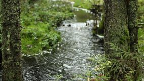 Meandering stream in green rainforest. With sound, trees in the foreground, loop stock footage