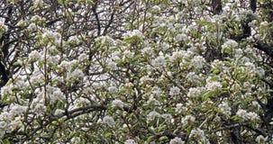 Meandruje i gałąź jabłoń w kwiatach, Normandy w Francja, zwolnione tempo zdjęcie wideo