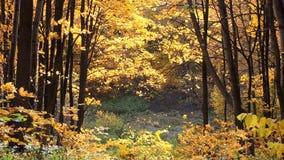 Meandruje w jesień klonowym lesie, spada żółci liście klonowi zdjęcie wideo