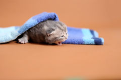 meaowing在毛巾下的小小猫 免版税库存图片