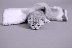 meaowing在毛巾下的小小猫 免版税库存照片
