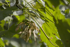 Meaple leaves and seed on the tree. Old meaple leaves and seed on the tree Royalty Free Stock Image