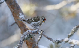 Mearly redpoll, Carduelis flammea Royalty Free Stock Images