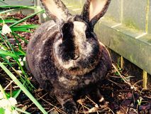 Measter rabbit Royalty Free Stock Image