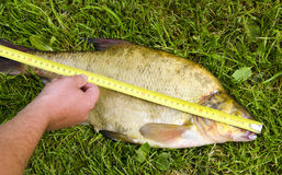 Measure fish bream Hand hold  tool big catch Royalty Free Stock Photography