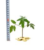 Measuring business growth. Plant sprouting from a pile of golden coins and tape measure (isolated) - concept for evaluating business growth stock photo