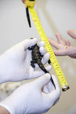 Measuring a crocodile baby Royalty Free Stock Images