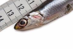 Measuring fish. Royalty Free Stock Photography