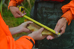 Measuring the fish. GREYMOUTH, NEW ZEALAND, FEBRUARY 12, 2014:A woman from the New Zealand Department of Conservation measures a trout caught while checking for Stock Photos