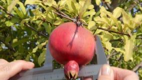 Measuring pomegranates diameter. Agronomist measures pomegranates diameter by vernier caliper stock video footage