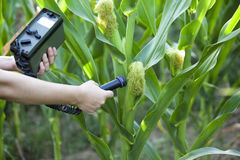 Measuring radiation levels of corn. Measuring radioactivity levels of maize Stock Photos