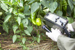 Measuring radiation levels of pepper. Measuring radiation levels of vegetable Royalty Free Stock Photography