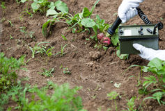 Measuring radiation levels of radishes. Measuring radiation levels of vegetables Royalty Free Stock Photography