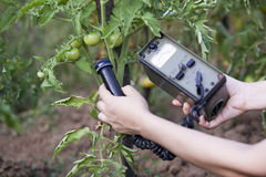 Measuring radiation levels of tomato. Measuring radiation levels of vegetable Stock Image