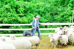 Measuring the Romanian sheep Royalty Free Stock Photos