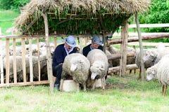 Measuring the Romanian sheep Royalty Free Stock Photo