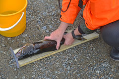 Measuring the trout Stock Image