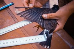 Measuring the wing of a bird. Bird measurement for scientific purposes. Ornithologist work, research, practice. A small bird in the tanned hands of a scientist royalty free stock photos