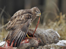 Meat. Common buzzard eats a winter victim Royalty Free Stock Image