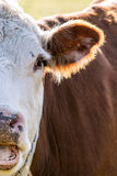 Meat Cow 2 Royalty Free Stock Photos