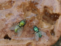 Meat fly Royalty Free Stock Images