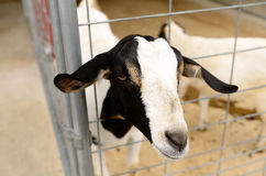 Meat Goats Royalty Free Stock Images