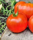 meaty trevlig tomat Arkivfoton