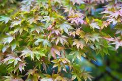 Mebleboom in Japan Royalty-vrije Stock Afbeelding