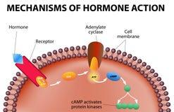 Mecanismos de la acción de la hormona Imágenes de archivo libres de regalías