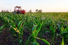 Mecanizado processando a grama entre fileiras no campo de milho Imagem de Stock Royalty Free