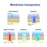 Meccanismi per il trasporto degli ioni e delle molecole attraverso la cellula m. royalty illustrazione gratis