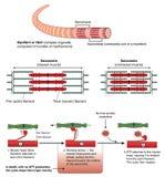 Meccanismo della contrazione del muscolo Immagini Stock Libere da Diritti