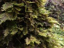 Mech dorośnięcie na drzewie Blisko do Hanakapiai spadków na NaPali wybrzeżu wzdłuż Kalalau śladu na Dżdżystym i Mglistym dniu na  Fotografia Royalty Free