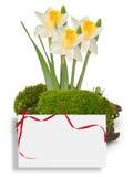 Mech i daffodils odizolowywający na bielu Obrazy Royalty Free