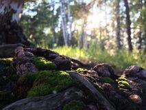 Mech i korzeń Zdjęcie Stock