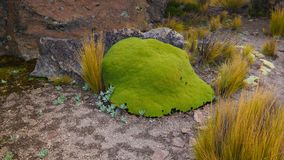 Mech i liszaj przy piaskowcową rockową formacją przy Imata w Salinas i Aguada Blanca Krajowej rezerwacji, Arequipa, Peru obrazy stock