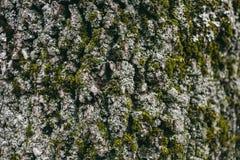 Mech i liszaju tekstura na dębowej drzewnej barkentynie Organicznie abstrakcjonistyczny tło dla projekta i tekstura Zbliżenie wid Fotografia Royalty Free
